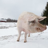20140316-Farm_Sanctuary_Snow-4750
