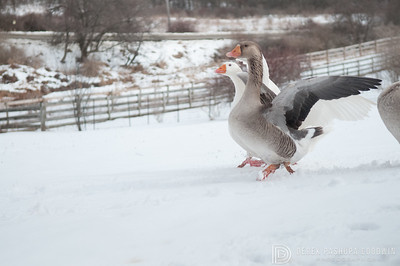 20140315-Farm_Sanctuary_Snow-4485