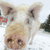 20140316-Farm_Sanctuary_Snow-4726