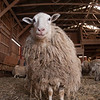 20140314-Farm_Sanctuary_Snow-4337