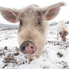 20140316-Farm_Sanctuary_Snow-4799