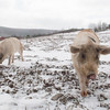 20140316-Farm_Sanctuary_Snow-4787