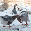 20140314-Farm_Sanctuary_Snow-4279