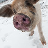 20140316-Farm_Sanctuary_Snow-4791