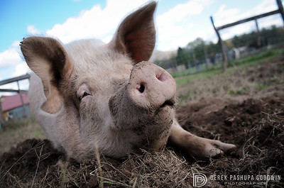Miss Piggy at Woodstock Sanctuary