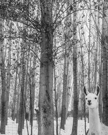 Llama in Poplars