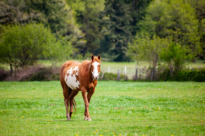 A brown and white sorrel pinto horse with  bald face and heterochromia iridium eyes walking in a pasture