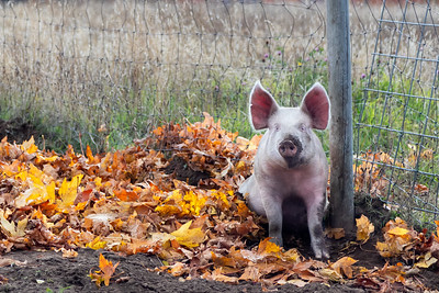 A muddy pink pig with erect ears sitting in mud and autumn leaves