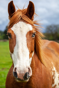 Portait of overo patterned horse that is brown and white with two colored eyes