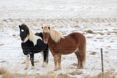 Two Icelandic horses in a snowy pasture with winter coats