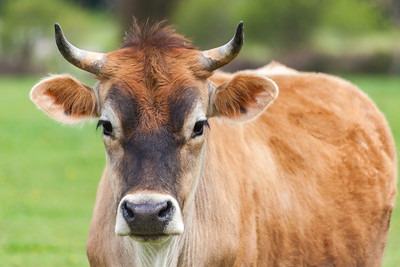 Healthy young Brown Swiss bull in a pasture