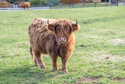 Highland Scottish Cattle in a green pasture