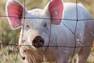 Pink pig looking through wire fence on a farm in Oregon