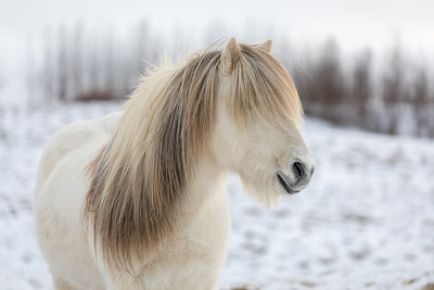 White Icelandic horse with the most beautiful mane as if it had just been styled