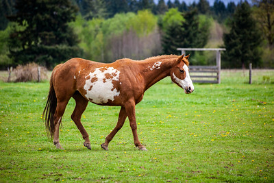 Overo patterned horse walking in pasture in the spring with brown and white coloring