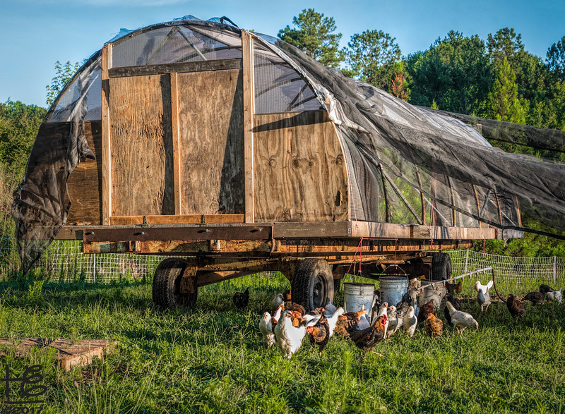 King of Crops - hens