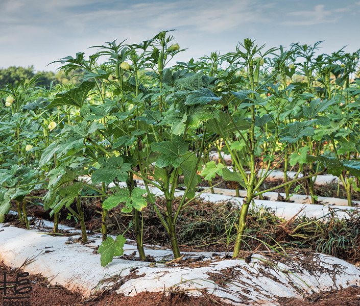 Okra crop