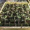 KSU Hickory Grove  - ready for planting