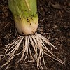Leek roots in rich soil