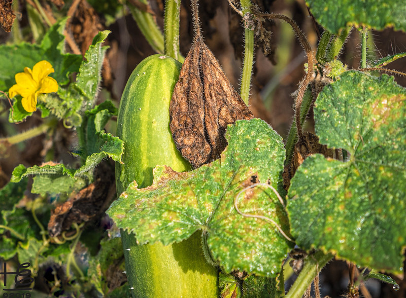 Late harvest cucumber