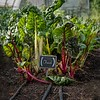 Hickory Grove Farm - chard