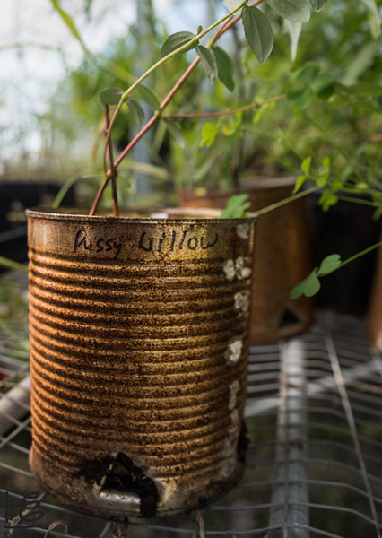 KSU Hickory Grove  - sapling in #10 can