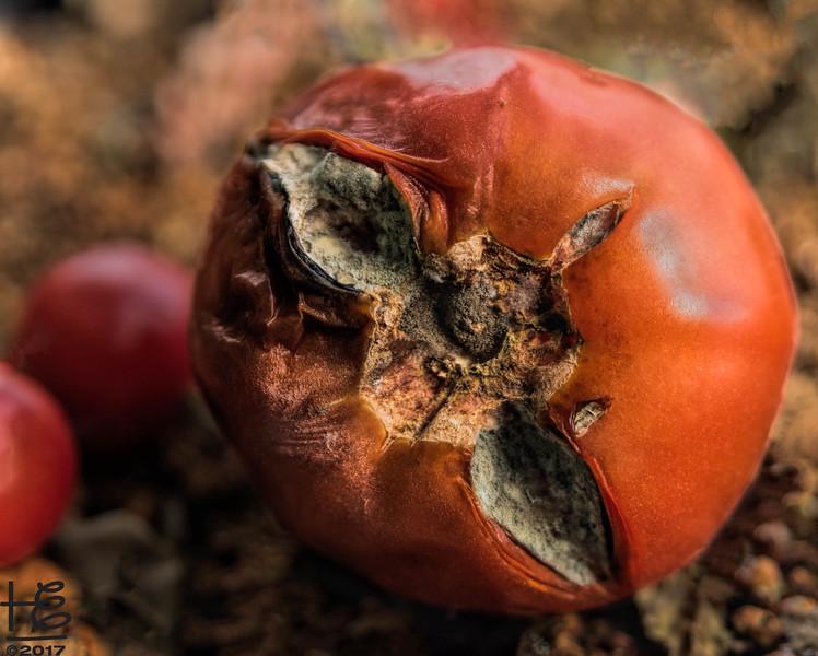 Rotting tomato