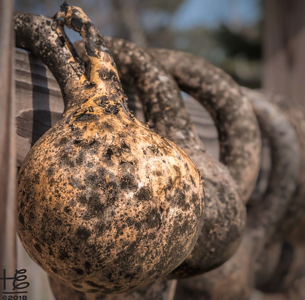 Gourds drying