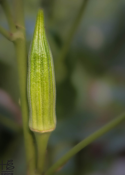 Okra seed pod