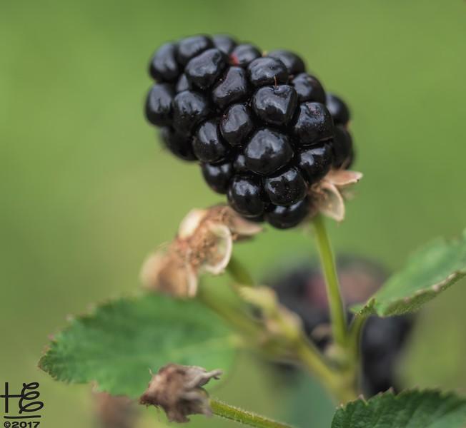 Hickory Grove Farm - blackberry