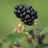 Hickory Grove Farm - blackberry