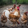 Hickory Grove Farm - rooster