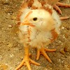 05-14-12 Baby chick enjoying the comaraerie of its fellow chick as they gain the strength and size to experience the free-range world.