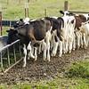 young heifers feeding