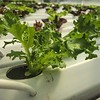 Lettuce in hydroponics system