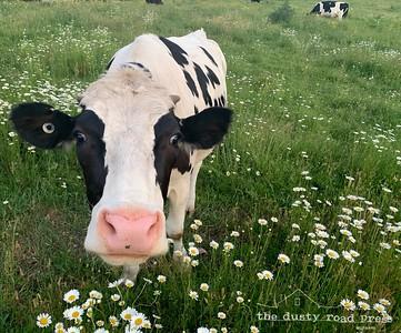 Zak Farm Holstein