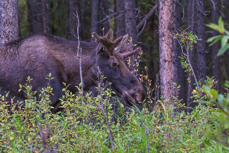 Moose in the forest.
