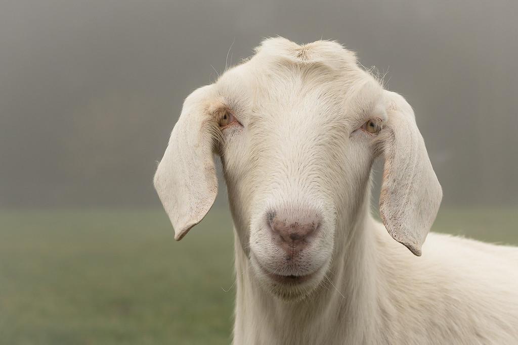 Foggy day goat