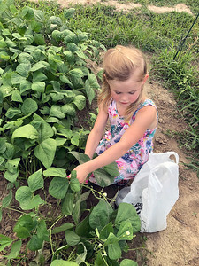 "Niece Zoey picks green beans at Nana's garden in Ingraham. ""Never too young to start them out especially when they are so much lower to the ground.""  Submitted by Kathy Leonard"