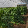 Lush high-tunnel crops