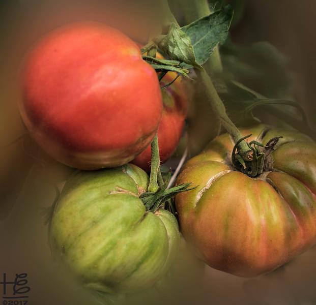 KSU Hickory Grove Farm - tomatoes