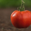 A perfect tomato