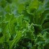 Lettuce greens