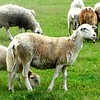 05-14-12 Sheep play an integrol role in WOP grazing rotation.