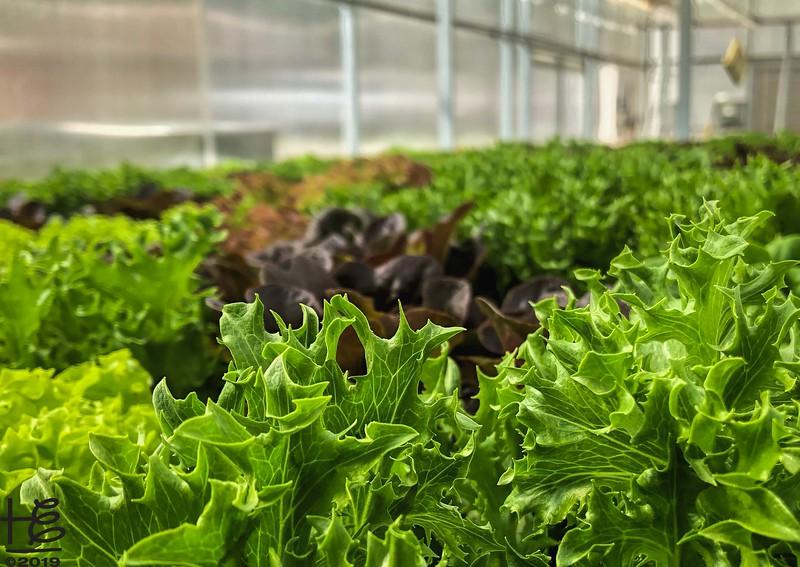 Sea of lettuce