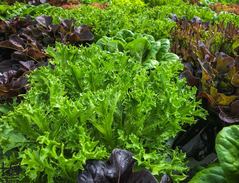 Lettuce ready for harvest