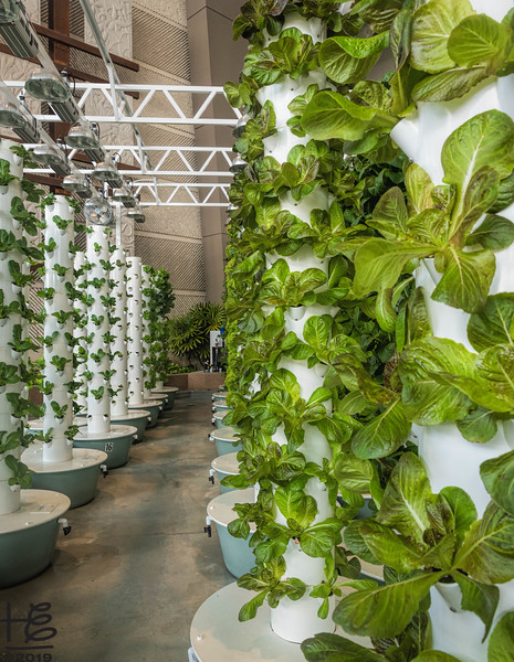 Hydroponic-grown lettuce