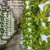 Hydroponic-grown lettuce