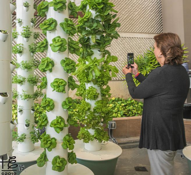Molly capturing lettuce