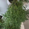 Hydroponic-grown thyme